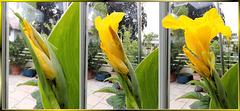 Entfaltung einer Canna-Blüte. ©UdoSm