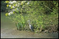 heron in spring