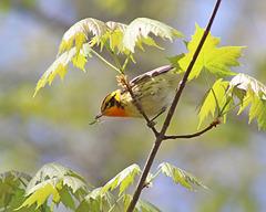 paruline à gorge orangée / blackburnian warbler