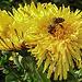 20200409 7143CPw [D~LIP] Honigbiene, Löwenzahn, Bad Salzuflen