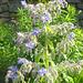 Blaue Blüte - blua floro