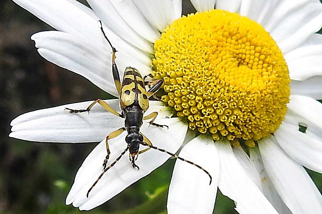 20200614 8468CPw [D~LIP] Gefleckter Schmalbock (Rutpela maculata, Syn.: Strangalia maculata, Leptura maculata), Bad Salzuflen