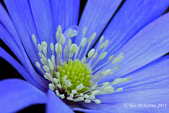 Anemone blanda AKA winter windflower  067 copy 2