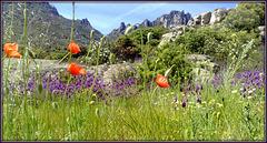Wildflower meadow, La Cabrera