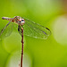 5158174 DxOdL · First dragonfly of the season
