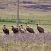 20120516 9958RTw [R~E] Gänsegeier (Gyps fulvus), Belen, Extremadura