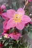20210302 10274 rose de noel,Hellebore noir(blog)