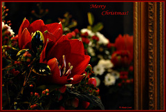Flowers for my birthday reflected in a mirror..... to wish you a Merry Christmas!