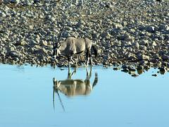 Oryx im Spiegel der Wasserstelle