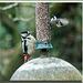 Woodpecker (4)