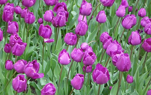Un Tapis de Tulipes