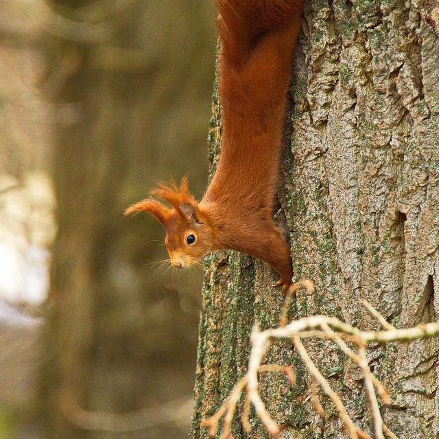 Eichhörnchen auf der Pirsch