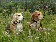 Botanizing Beagles - Ben and Maggie