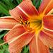 Eine Feuerlilie. ©UdoSm
