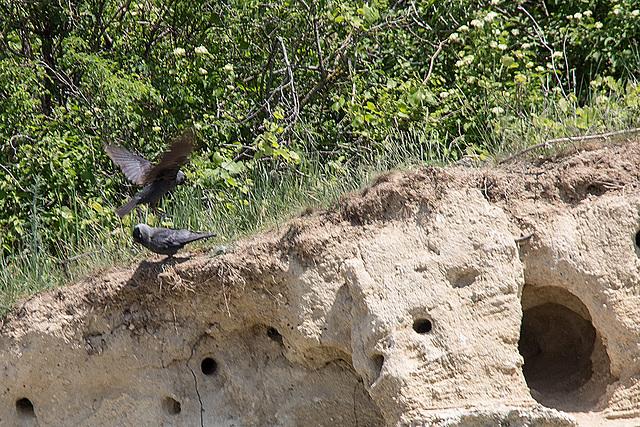 20170516 2785VRTw [A] Dohle (Corvus monedula), Neusiedler See, [Oslib-Rust]