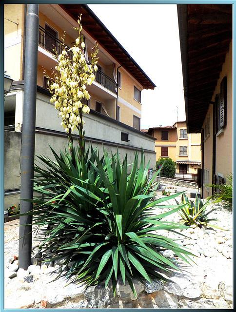 Kerzen-Palmlilie (Yucca gloriosa) ©UdoSm