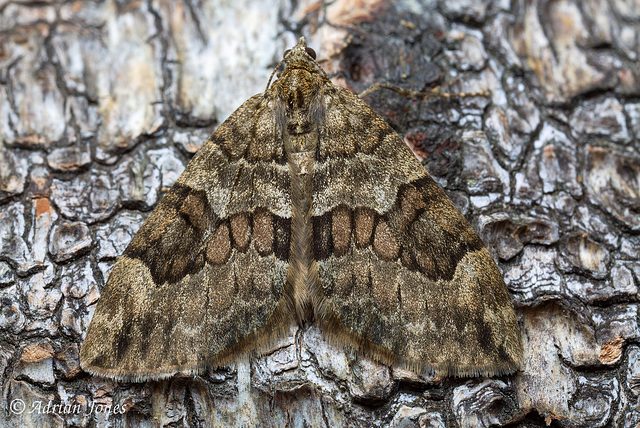 Spruce Carpet (Thera britannica)