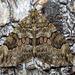 Spruce Carpet (Thera britannica)