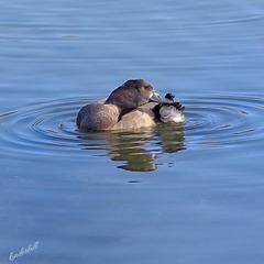 Tufted Duck (female)   /   Aug 2020