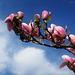 Magnolia Flowers (2)
