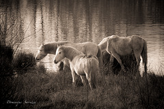 Chevaux de Camargue, l'étang d'épisy