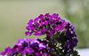Verveine hybride horticole