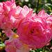 Die letzten Rosenblüten - The last rose blossoms