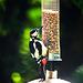 Woodpecker feeding