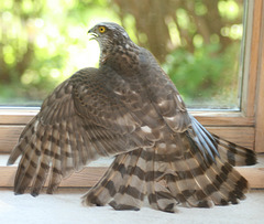Eurasian Sparrowhawk Female M08 d