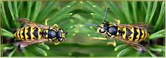 Wasps entertainment...  ©UdoSm