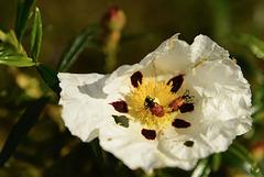 Escaravelho dos 3 Pontos (Lachnaia Paradoxa) sobre Cistus ladanifer