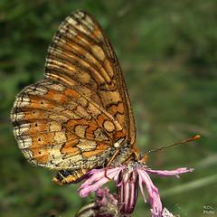 Le Damier de la succise ou Damier des marais (Euphydryas aurinia)