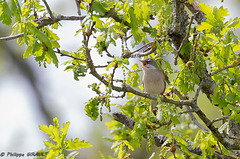Rousserolle turdoïde (Acrocephalus arundinaceus - Great Reed Warbler)