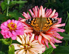 A close up of a Painted Lady on Zinnias.