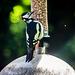 Woodpecker from a hide..