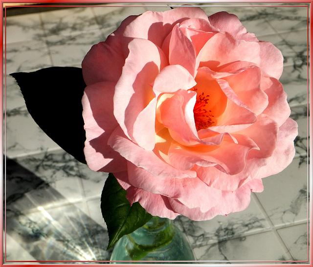 Italian Garden Rose, Gloria Dei... ©UdoSm