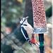 Woodpecker on a feeder