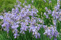Iris gallo-romains