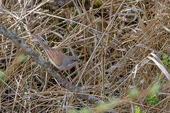 Fauvette grisette (Sylvia communis - Common Whitethroat)