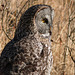 Great Gray Owl - from my archives