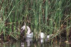 Mute Swan   /   Oct 2020