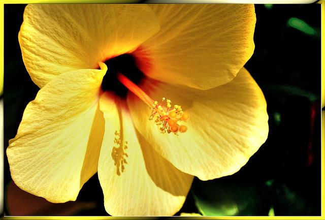 Hibiskusblüte. ©UdoSm
