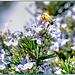 Biene auf Rosmarin. ©UdoSm