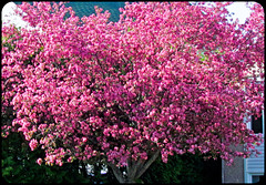 Pommier décoratif en fleurs...
