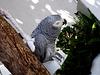 Chico, Amália's Parrot
