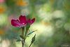 Profil de Rose, rouge.
