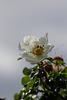 Rose und Morgentau (Wilhelma)