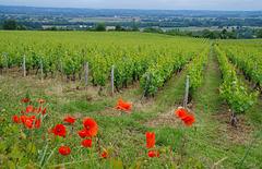 couleurs de vigne !