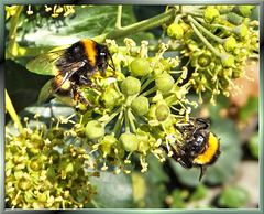 Bumblebees at the Ivy Bar... ©UdoSm