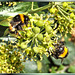 Bumblebees at the Ivy Bar... ©UdoSm